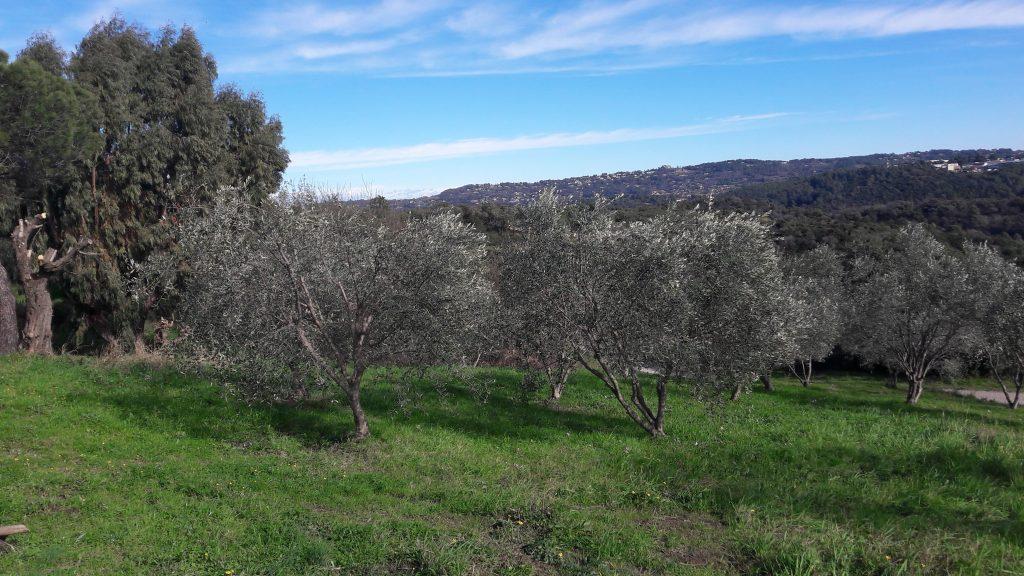 Photo oliveraie Clavary à Pégomas