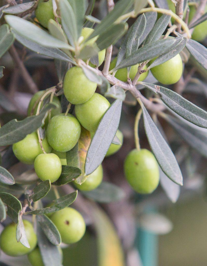 photo olives